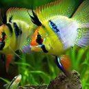 Cá phượng hoàng lùn ngũ sắc