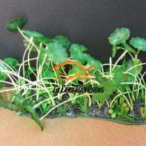 Cây rau má nhựa