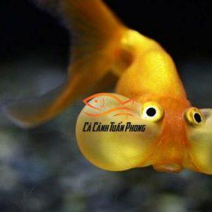 Cá Thủy Bao Nhãn